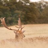 Fallow Deer Buck resting