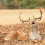 Fallow Deer Buck half hearted calling during the rut.