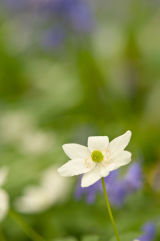 Wood Anemone with Bluebells