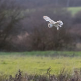 Barn Owl, hovering over a possible meal.