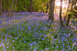 Sunrise in a Bluebell wood