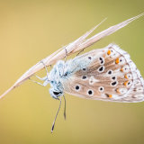 Female Chalkhill Blue on Grass