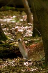 Fallow Deer at rest