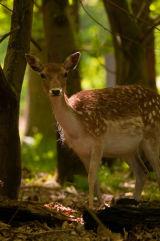 Fallow Deer (Doe)