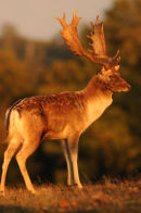 Fallow buck in evening sunlight