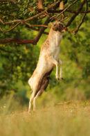 Fallow deer buck 'fraying'