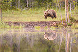European brown bear reflection