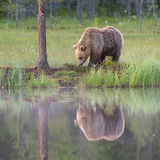 Brown bear with reflection