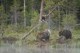 Juvenile brown bear climbs a tree to saftey