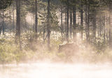 Brown bear emerges from the early morning mist