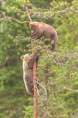 Climbing cubs