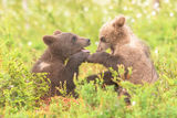 Juvenile bears learning how to look after themselves.
