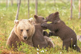 Young bears with mother.