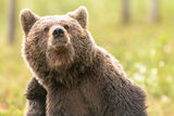 Mosquitos and biting insects are a part of life for these bears.