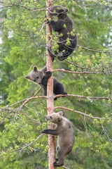 Baby bears climbing.