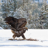 Golden Eagle with frozen Red Fox (carrion)