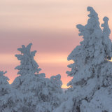Snow Laden trees at sunrise