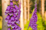 Foxgloves in a wood