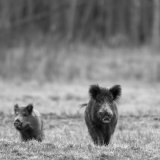 Wild Boar at twilight