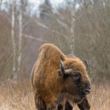 Lone Bull (Bison)