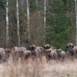 Bison at the forest edge