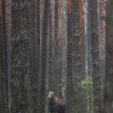 Elk (Cervus canadensis) in the forest,