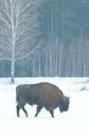 European Bison or Wisent