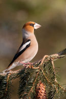 Hawfinch on pine cones