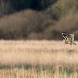 Short-eared owl with an injured leg