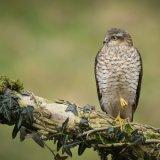 Sparrowhawk I