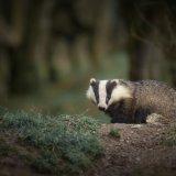 Badger I