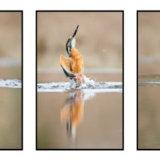 Kingfisher Triptych