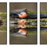 Bullfinch Triptych