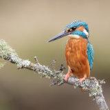 Kingfisher IV