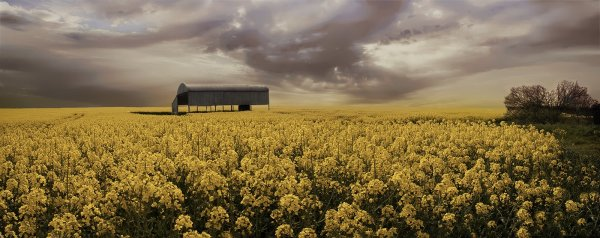 Commended: Dorset Oilseed rape
