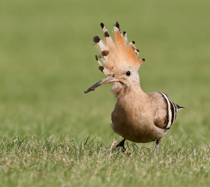 Highly Commended: Displaying Hoopoe