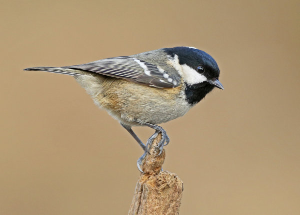 Highly Commended: Coal Tit