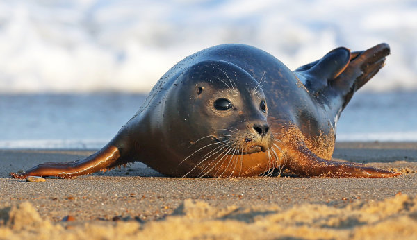 Commended: Common Seal Pup