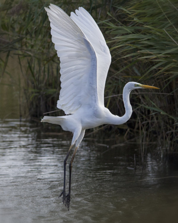 Highly Commended: Great Egret