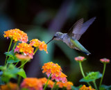 2nd Place: Hummingbird at Work