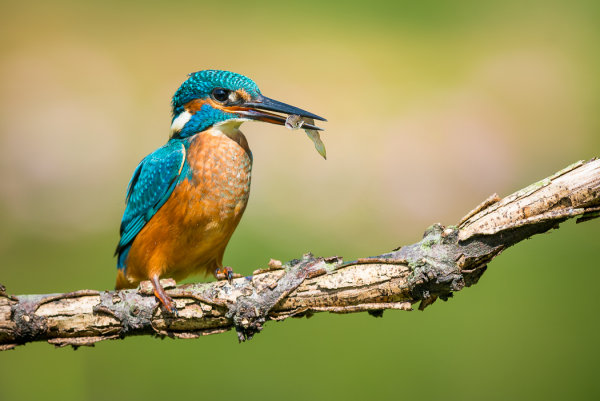 3rd Place: Kingfisher with Prey