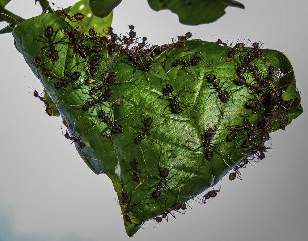 1st Place: Weaver Ants