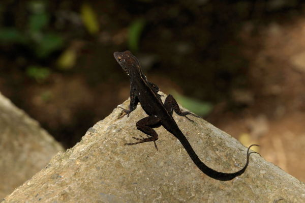 Earless Lizard, by Vince Cunningham (Second Place)