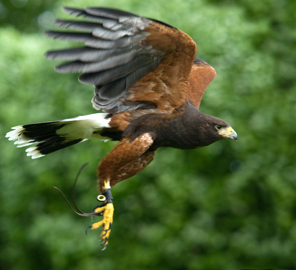 Falconry Action  - 3rd place