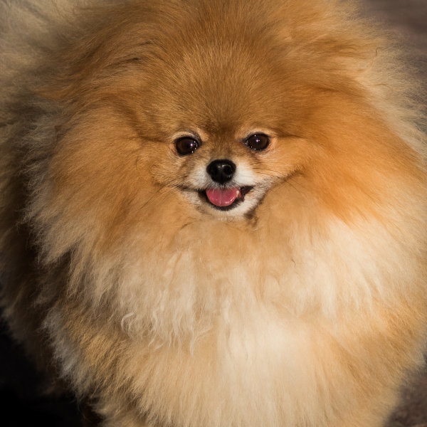 Highly Commended: Happy Pomeranian