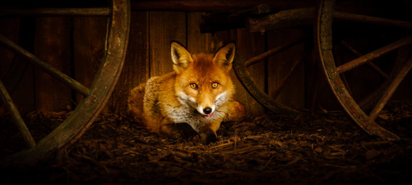 2nd Place: Red Fox