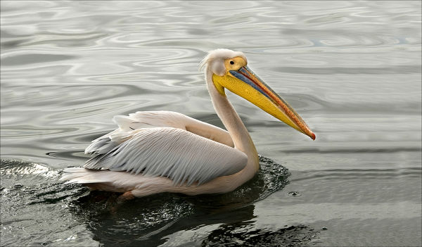 Pelican, by Gill Sharp (Third Place)