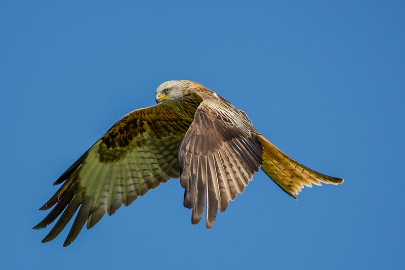 2nd Place: Red Kite