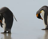 Highly Commended: King Penguin Pose