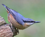3rd Place: Nuthatch
